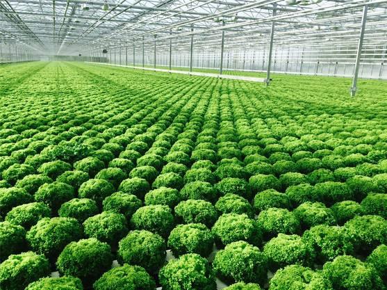 Salate, soweit das Auge reicht