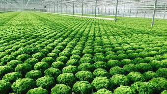 Salat aus dem Hydrokulturgewächshaus in Oftringen.