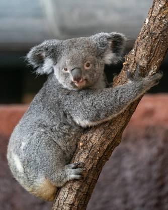 Das Koalaweibchen Pippa trägt das Jungtier noch in seinem Beutel.