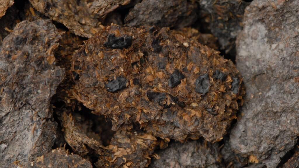 Ein 2600 Jahre altes menschliches Exkrement aus den eisenzeitlichen Salzbergwerken von Hallstatt in Österreich. Bohnen, Hirse- und Gerstenkörner sind mit blossem Auge erkennbar. (Pressbild)
