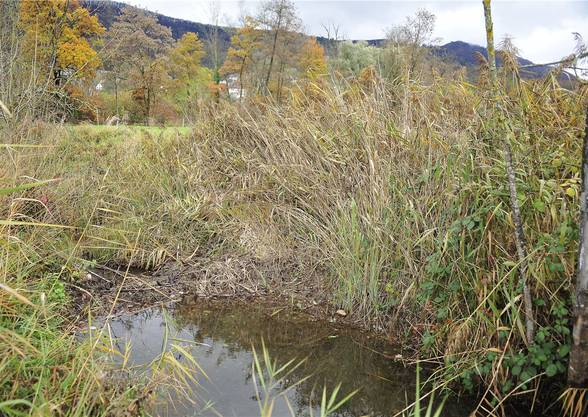 Dieser Biberdamm liegt im nördlichen Teil des «Bibersteiner Giessen» (Aarau Rohr), kurz vor der Einmündung in den «Giessen».