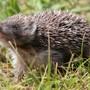 Igel, Vögel und andere Kleintiere leiden unter der Trockenheit. Tierschützer raten, Wasserschalen im Garten aufzustellen. (Archivbild)