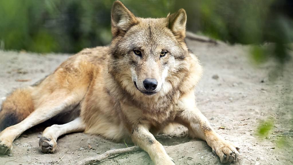 Der Ständerat fordert neue Vorschriften, um die Wölfe in der Schweiz in Schranken zu halten und die Herden besser zu schützen. Im Bild ein Wolf in einem Zoo.