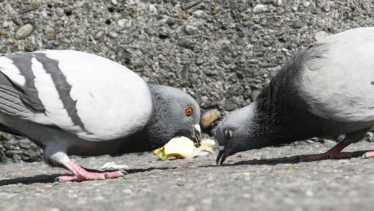 Schlaraffenland: Abgesehen davon, dass Tauben in Basel zu oft gefüttert werden, stellen auch liegengelassene Essensreste ein Problem dar.