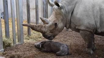 Die kleine Ushindi mit ihrem Nashorn-Mami Tanda.
