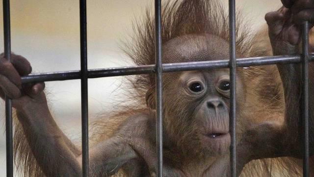 Auch Orang-Utans waren unter den Wildtieren (Symbolbild)