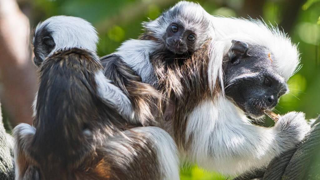 Der Basler Zolli hat junge lateinamerikanische Affen
