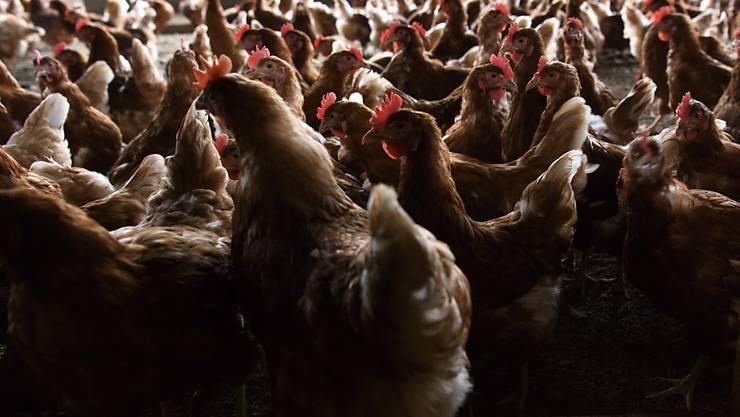 Die Vogelgrippe macht sich in Europa wieder breit. (Archivbild)