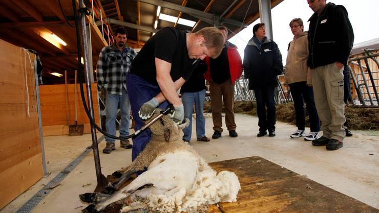Scahfscherer André Meister weiss genau, wo er das Schaf packen muss, damit es stillhält. (Foto: Hanspeter Bärtschi)