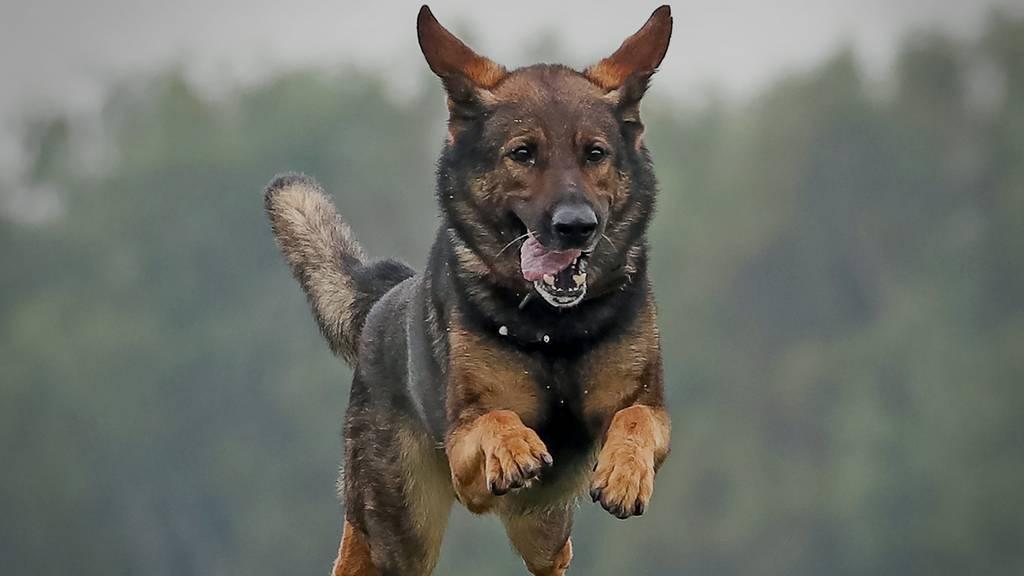 Polizeihund soll Einbrecher fassen – beisst stattdessen Katze tot