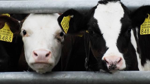 Zwei Kälber schauen neugierig durchs Gitter; die Tierbeiträge sollen im neuen Direktzahlungssystem gestrichen werden (Archiv)