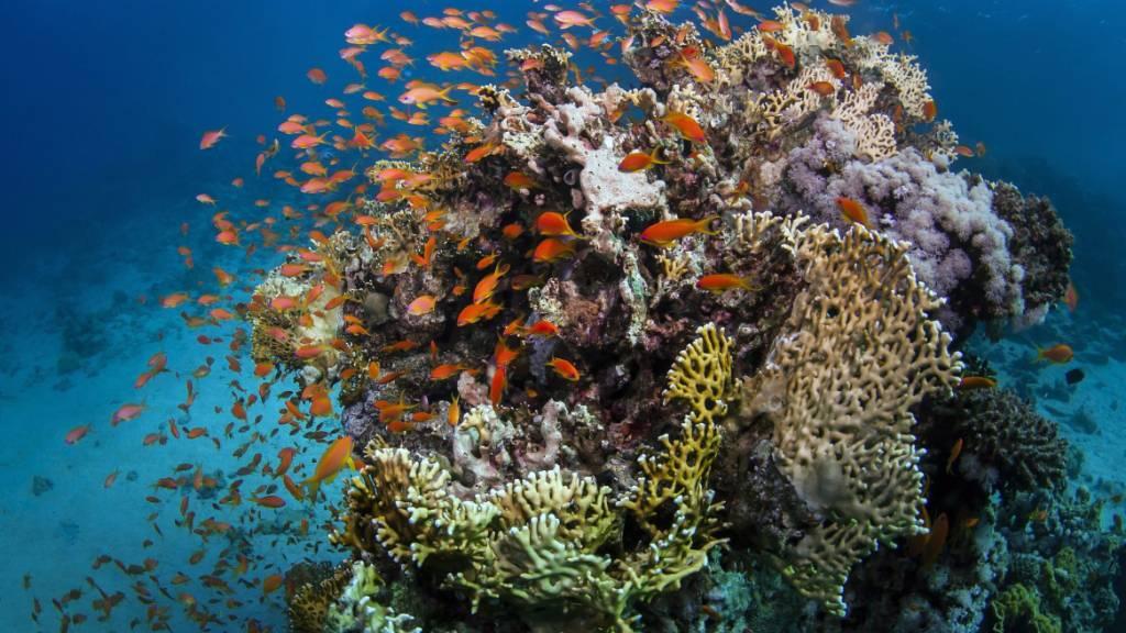 ARCHIV - Das undatierte Foto, zur Verfügung gestellt von der australischen James Cook University (JCU) zeigt Fische am Great Barrier Reef, an der Küste von Queensland, Australien. Trotz starker Bedrohungen ist das Great Barrier Reef vorerst einer Einstufung als «gefährdetes» Welterbe entgangen. Foto: James Cook University/AAP/JAMES COOK UNIVERSITY/dpa - ACHTUNG: Nur zur redaktionellen Verwendung und nur mit vollständiger Nennung des vorstehenden Credits
