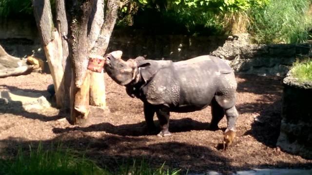 Ein Glace schleckendes Nashorn im Zoo Basel