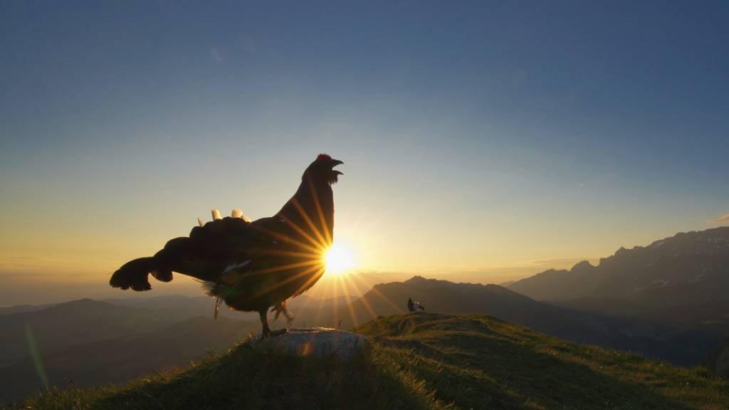 Im Morgenrot balzender Birkhahn gewinnt Vogelwarte-Fotowettbewerb