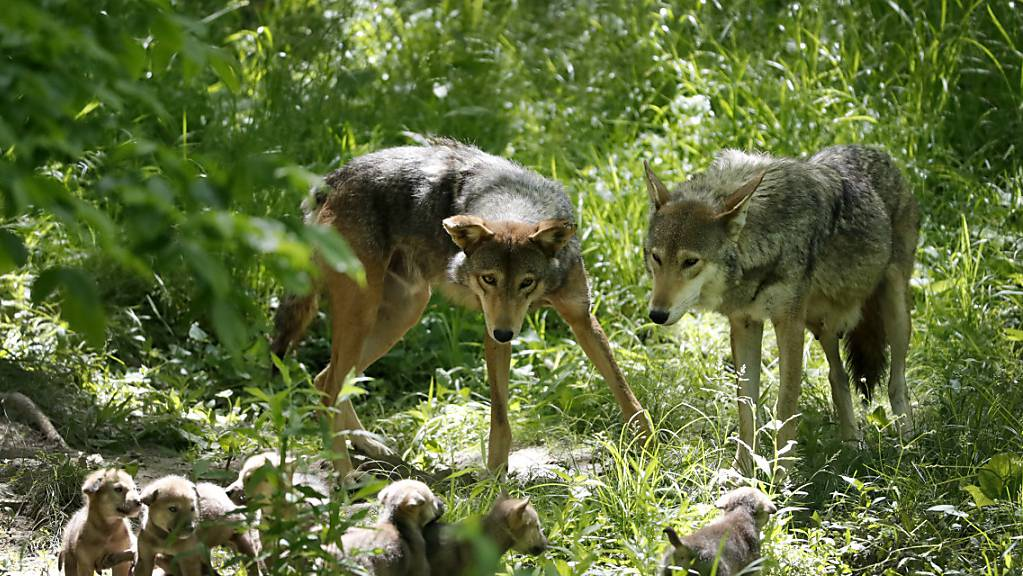 Umwelt- und Tierschutzorganisationen haben das Referendum gegen das neue Jagdgesetz lanciert. Damit könnten Wölfe auf Vorrat abgeschossen werden, kritisieren sie. (Themenbild)
