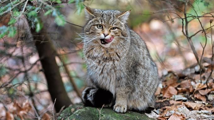 Als bedrohter Sympathieträger eignet sich die Europäische Wildkatze bestens zum Tier des Jahres.