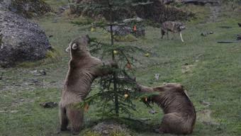 Die beiden Bären gehen mit dem Weihnachtsbaum nicht gerade sanft um.