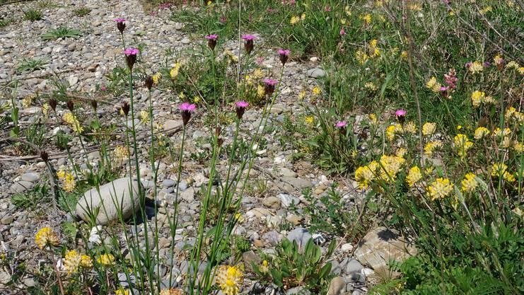 Eine Ruderalfläche am Sonnenberg: Sie bietet nicht nur für das Grosse Glühwürmchen einen Lebensraum.