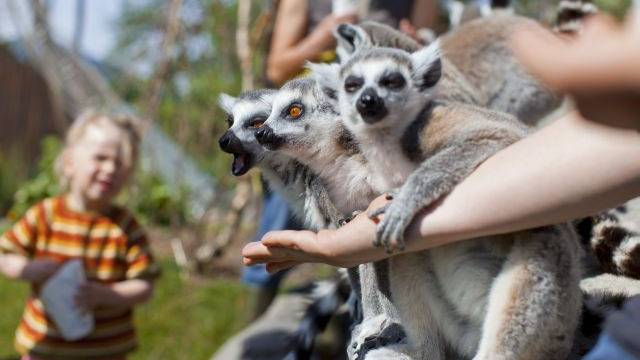 Am Mittwoch bekamen die Lemuren im Kinderzoo Rapperswil Nachwuchs. Foto: Keystone