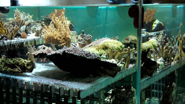 Die Wasserbecken für die Korallen sind flach, denn viel Licht ist wichtig für die Nesseltiere. Zudem brauchen sie Strömung, damit die Ausscheidungen nicht auf ihnen liegen bleiben und sie im schlimmsten Fall sogar von Parasiten befallen werden.