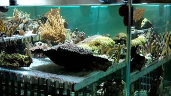 Bis das Ozeanium steht, züchtet der Zolli ein 50 Quadratmeter grosses Korallenriff.