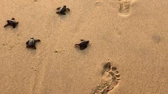 Um frisch geschlüpfte Schildkröten zu schützen, musste eine Hochzeitsparty in Zypern mit Christina Aguilera als Stargast vom Strand in ein Hotel verlegt werden. (Symbolbild)