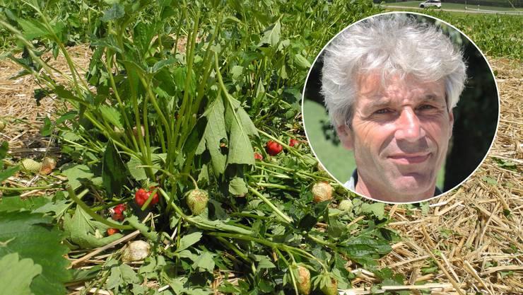 Die Erdbeeren von Landwirt Erich Frei wurden vom Hagel zerschlagen.