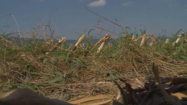 Mittwochnachmittag in Dulliken: Beim Mähen eines Maisfeldes entdeckt ein Bauer eine Leiche.