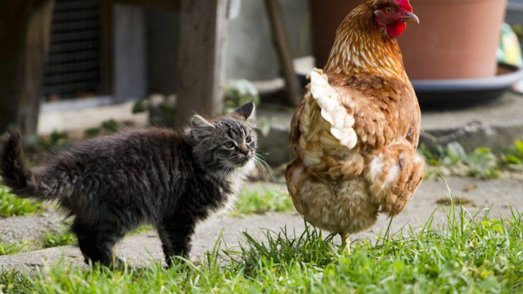 Huhn oder Katze aktiviert den Hausnotruf