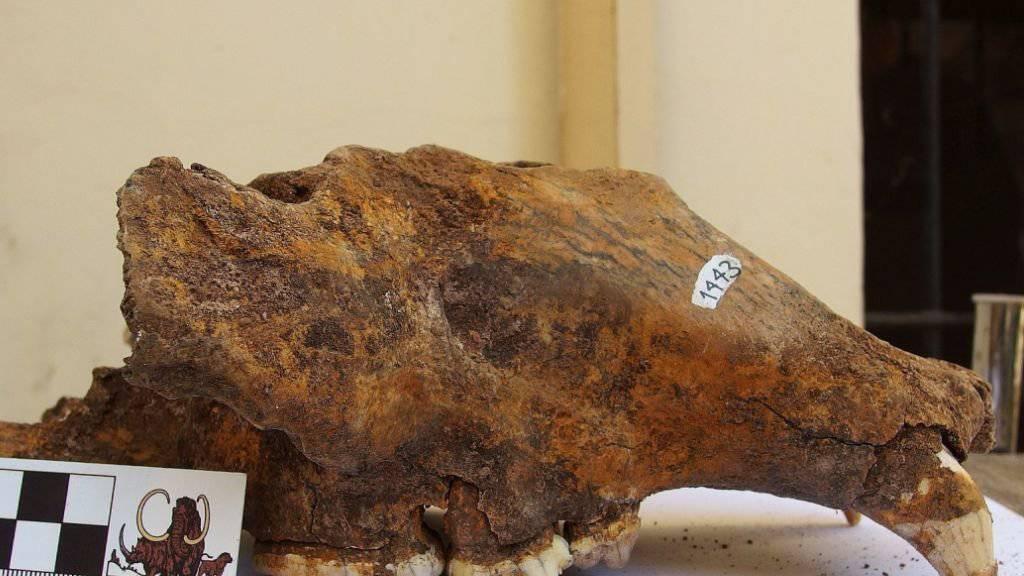 Schädel eines Höhlenbären aus dem Naturhistorischen Museum Belgrad.