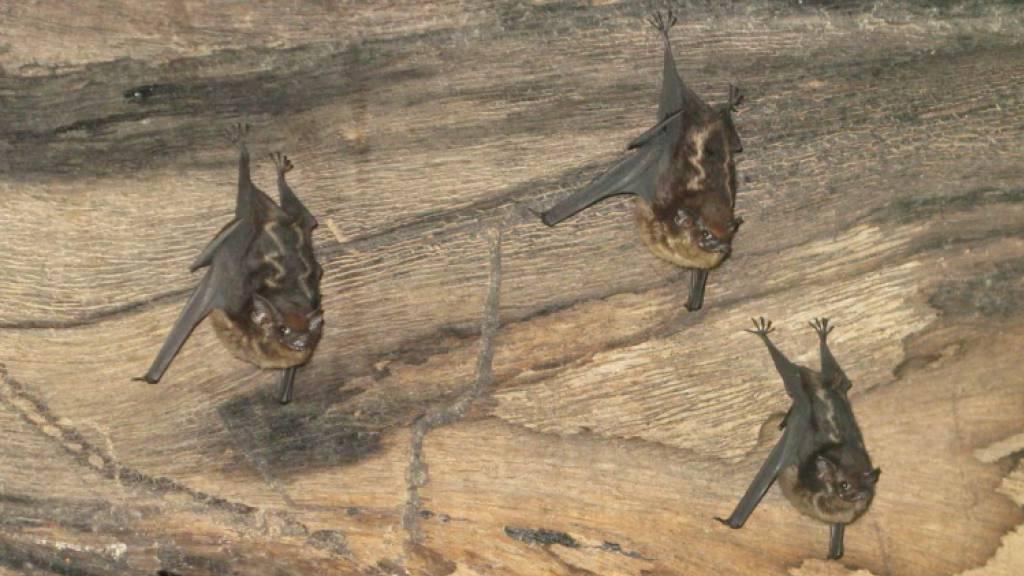 Studie: Fledermaus-Nachwuchs brabbelt wie menschliche Babys