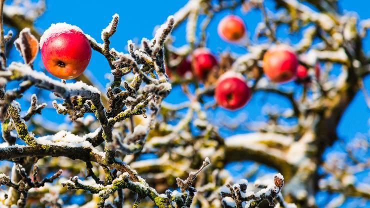 Mit Schnee bedeckte Äpfel: Der Frostfrühling machte den Schweizer Bauern zu schaffen.