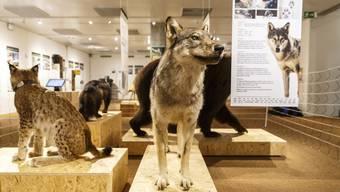 Sonderausstellungim Naturmuseum «Mit Grossraubtieren leben»
