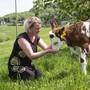 Ein Altersheim für Kühe, Schafe und Hühner: Sie dürfen glücklich sterben