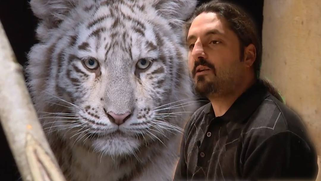 """Schweizer Zoochef """"adoptiert"""" weisse Tigerbabys"""
