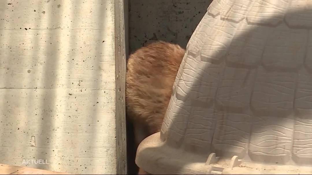 Im Tierlignadenhof in Kaisten werden zwei Fuchsjunge aufgezogen – obwohl die Rettung verboten wäre