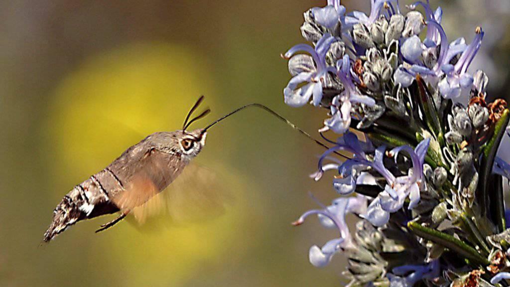 Blütenpflanzen und Insekten sind aufeinander angewiesen. Solche gegenseitigen Abhängigkeiten erhöhen das Risiko, dass das Artensterben sich wie eine Kettenreaktion auf weitere Spezies ausweitet. (Symbolbild)