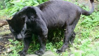 Die Suche nach dem Panther