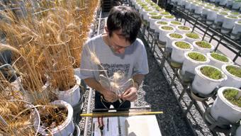Braucht es Gentechnik? Genmanipulierte Weizenpflanzen werden im September 2000 in der Eidgenössischen Forschungsanstalt für Agrarökologie und Landbau Reckenholz (FAL) bei Zürich vermessen.