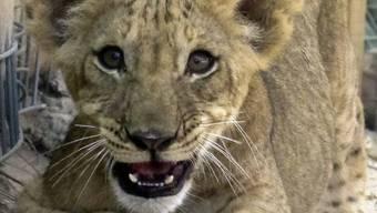 Löwenbabies von Somalia