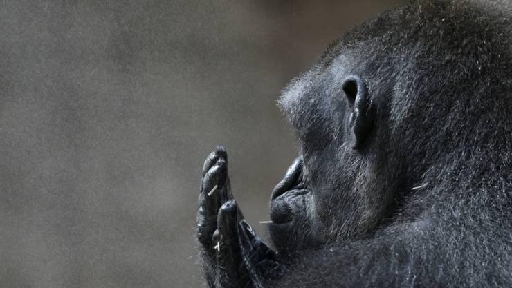 Gorilla Kijivu gönnt sich im Prager Zoo eine Zigarette. Als Pflanzenfresser hat ihm die Evolution einen stärker entwickelten Kehlkopf ermöglicht als den Fleischfressern, deshalb kann er differenziertere Laute von sich geben. (Archivbild)