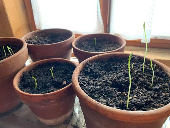 Wer gestaffelt sät, kann sich immer wieder über Gemüse aus dem eigenen Garten freuen.