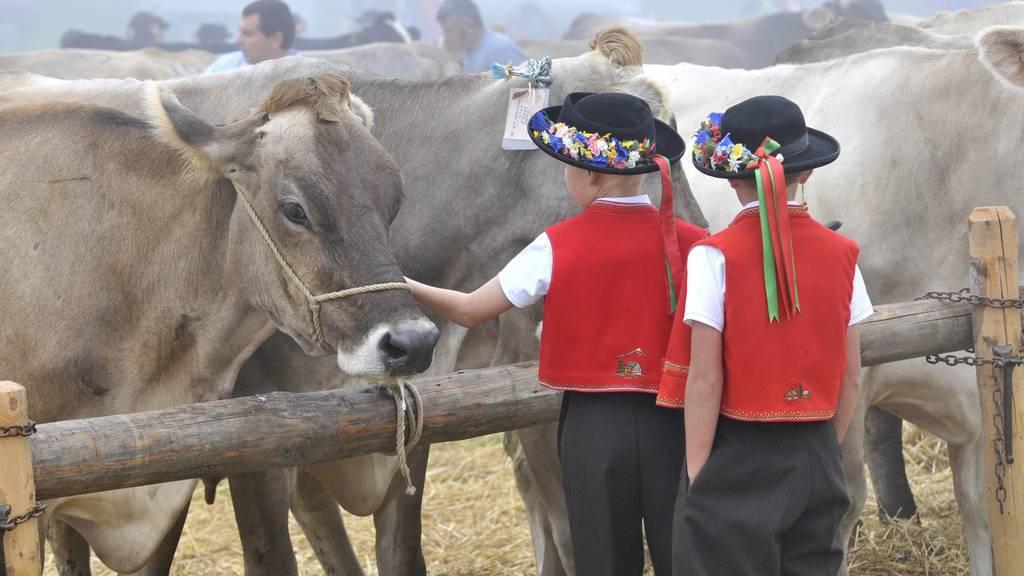 Hier werden die schönsten Kühe gezeigt