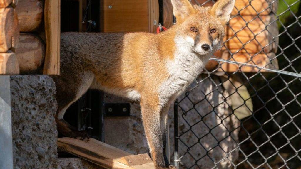 Erkundet seinen Lebensraum: Meister Reineke in der neuen Fuchsanlage des Natur- und Tierparks Goldau.