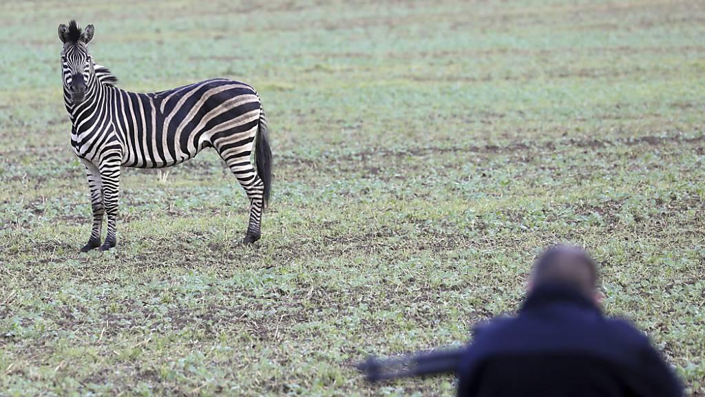 Vor der Flinte des Jägers: Das bei einem Zirkus ausgebüxte Zebra im ostdeutschen Tessin.