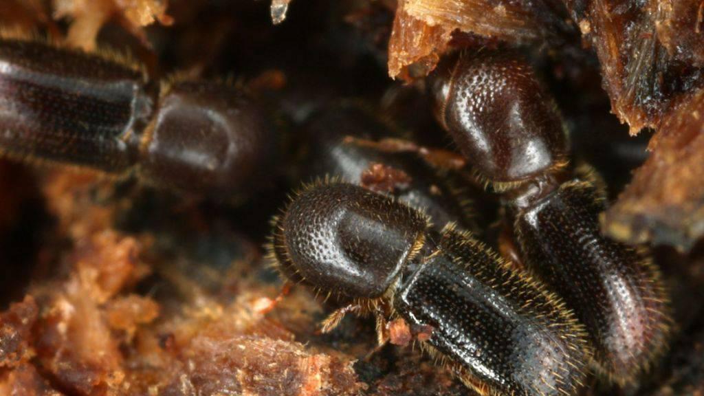 Krankheiten schweissen zusammen: Ambrosiakäfer helfen ihren Müttern bei der Aufzucht der Geschwister, dürfen aber auch aus der Gemeinschaft ausziehen. Ist die Gruppe aber von einer Krankheit befallen, bleiben sie und putzen die infizierten Genossinnen, wie Berner Forscher herausgefunden haben. (zVg)
