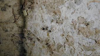 Ein Rest der Castrummauer, wo Alma Kuno hinzerrt. (Archivbild)