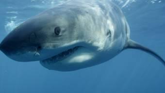 Ein Weisser Hai (Symbolbild)