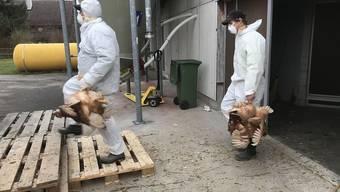 8000 Hühner werden aus dem Stall geholt und zum Töten in einen Container gebracht.