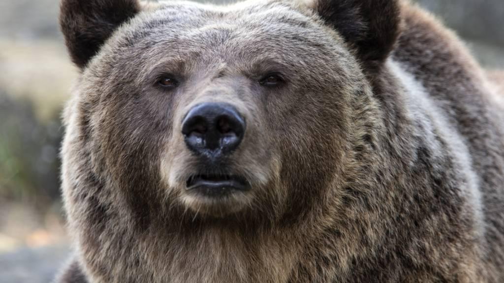 Im Engadin ist wieder ein Bär unterwegs – mit Appetit auf Schafe